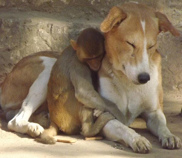 dog-taking-care-of-monkey