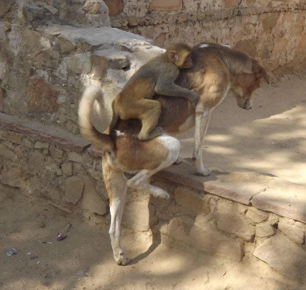 dog-taking-care-of-monkey1