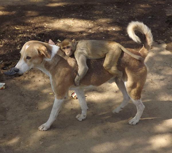 dog-taking-care-of-monkey3