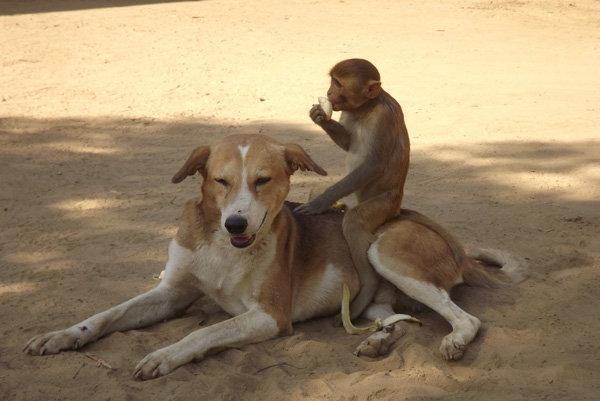 dog-taking-care-of-monkey4